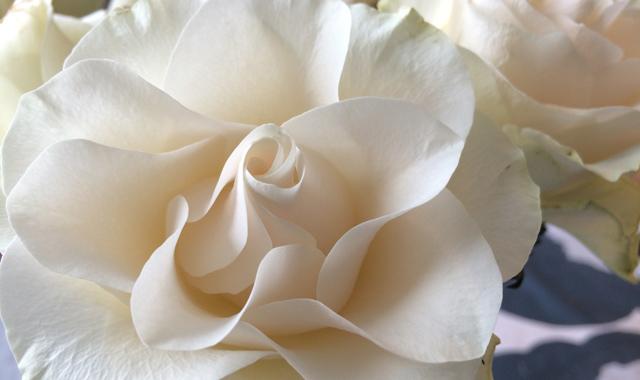 IMG_4482_hvid_rose2